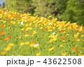 ポピー 花 花畑の写真 43622508