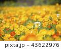 ポピー 花 花畑の写真 43622976