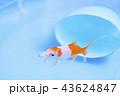 金魚 淡水魚 水中の写真 43624847