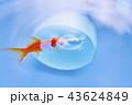 金魚 淡水魚 水中の写真 43624849
