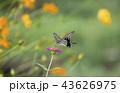 蝶 花 キバナコスモスの写真 43626975