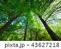 晴れ 新緑 木の写真 43627218