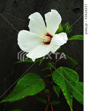 しとやかで優しい印象の芙蓉の花は、古来、美しい女性のたとえに用いられ、花言葉は「しとやかな恋人」。 43628357