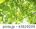 新緑 葉 青葉の写真 43629209