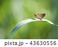草にとまるイチモンジセセリ 43630556