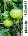 トマト 野菜 緑色の写真 43630648