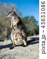 ロックワラビー ワラビー 動物の写真 43631086