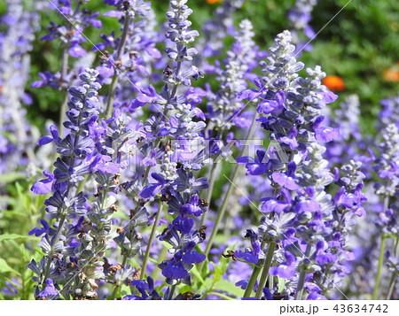 美しく透き通る青いブルーサルビア。花言葉は「永遠にあなたのもの」。恋人へのプレゼントに最適である。 43634742