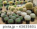 植物 さぼてん サボテンの写真 43635601