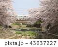 奈良 佐保川の桜並木 43637227