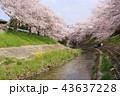 奈良 佐保川の桜並木 43637228