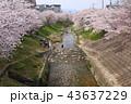 奈良 佐保川の桜並木 43637229