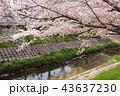 奈良 佐保川の桜並木 43637230