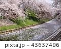 奈良 佐保川の桜並木 43637496