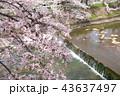 奈良 佐保川の桜 43637497