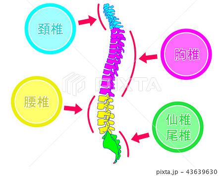 脊柱の生理的側弯 43639630