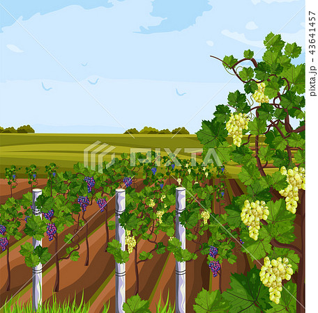 Vineyard growing harvest Vector. Beautiful summer 43641457
