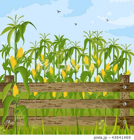 Corn field growing Vector. Maize background 43641469