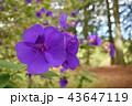 紫の花 43647119