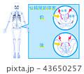 仙腸関節 関節 説明のイラスト 43650257