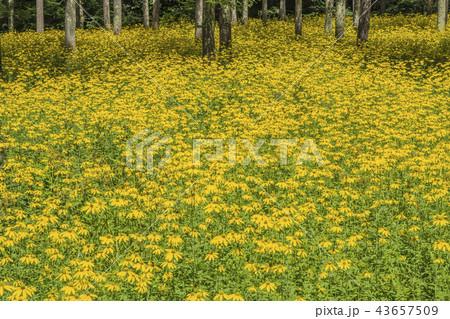 信州 長野県茅野市 白樺高原大門街道沿いの黄色い花 43657509