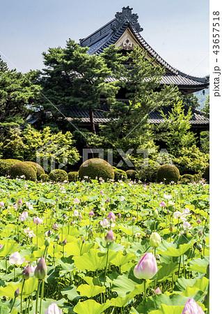 信州 長野県上田市 信濃国分寺のはす 43657518