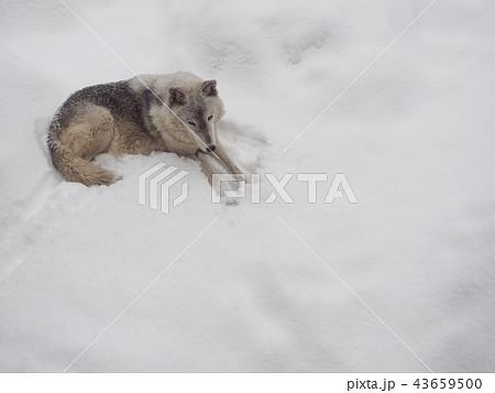 雪の上に横たわるオオカミ 43659500