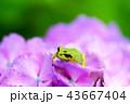 アマガエル カエル 両生類の写真 43667404