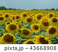 Field of sunflowers with green leaves and yellow 43668908