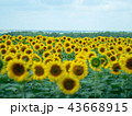 Rural landscape of sunflowers field with far green 43668915