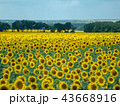 large field of sunflowers with far bush and green 43668916