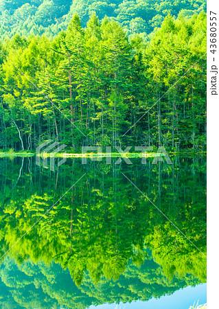 新緑・エコイメージ《長野県・御射鹿池》 43680557