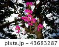 きれいに咲く 43683287