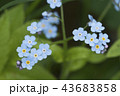 Forget-me-not blue flowers 43683858