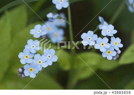 forget me not blue flowersの写真素材 43683858 pixta