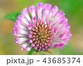 花 赤クローバー マメ科の写真 43685374