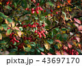 Bush with berries barberry and green leaves 43697170