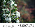 Bush with white berries and green leaves 43697171