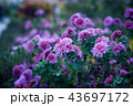 Flowers chrysanthemums on a green meadow 43697172