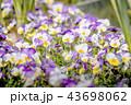 パンジー お花 フラワーの写真 43698062