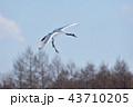 丹頂鶴 鶴 飛ぶの写真 43710205