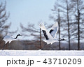タンチョウ 鶴 丹頂鶴の写真 43710209