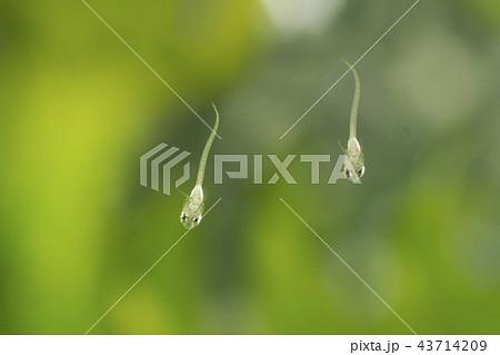孵化直後のメダカの稚魚 43714209