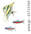 ベクター 白バック 熱帯魚のイラスト 43715566