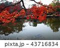 12月 紅葉の円山公園-京都の秋- 43716834