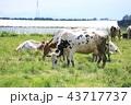 牛 43717737
