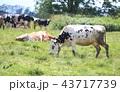 牛 43717739