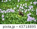 ホテイアオイの花とカルガモ 43718895