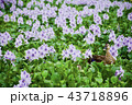 ホテイアオイの花とカルガモ 43718896