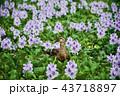 ホテイアオイの花とカルガモ 43718897